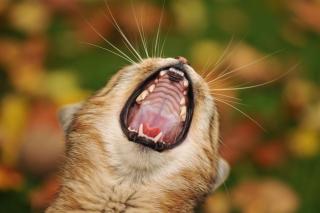 Cute Yawning Kitten - Obrázkek zdarma pro HTC Desire 310