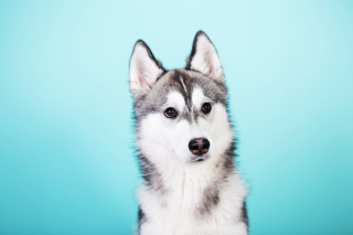 Husky Dog Wallpaper for Android, iPhone and iPad