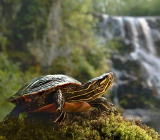 Wild Turtle - Obrázkek zdarma pro 320x320
