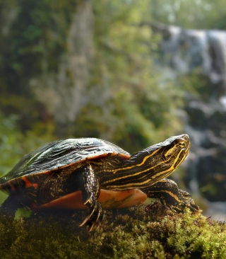 Wild Turtle - Obrázkek zdarma pro Nokia Asha 503