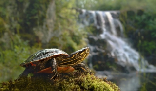 Wild Turtle Picture for Android, iPhone and iPad