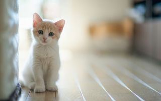 White Baby Cat Wallpaper for Android, iPhone and iPad