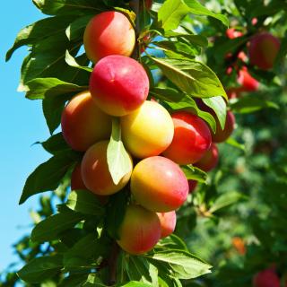 Fruits of plum in spring - Obrázkek zdarma pro iPad mini 2