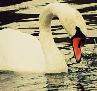 White Swan - Obrázkek zdarma pro iPad mini