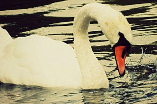 White Swan Picture for Android, iPhone and iPad