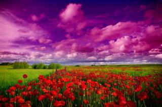 Poppies Field - Obrázkek zdarma pro Sony Xperia M