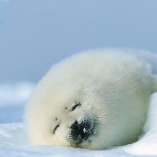 Seal On Islands Canada - Obrázkek zdarma pro iPad Air