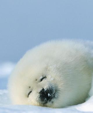 Seal On Islands Canada - Obrázkek zdarma pro Nokia Asha 305