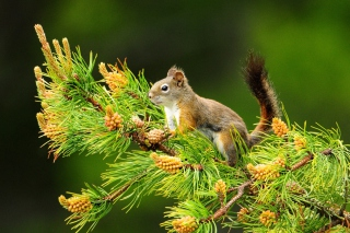 Squirrel And Cones Wallpaper for Android, iPhone and iPad