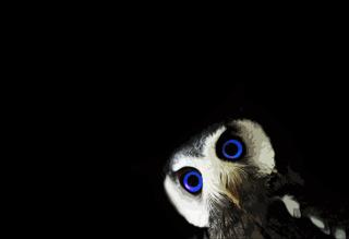 Funny Owl With Big Blue Eyes - Obrázkek zdarma pro Fullscreen Desktop 800x600