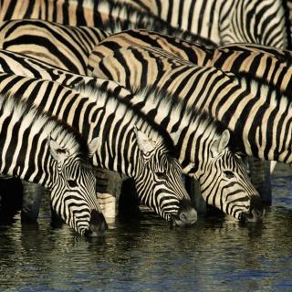 Zebras Drinking Water - Obrázkek zdarma pro 2048x2048
