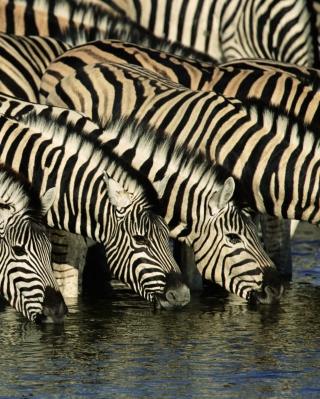 Zebras Drinking Water - Obrázkek zdarma pro iPhone 5C