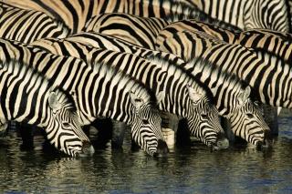Zebras Drinking Water - Obrázkek zdarma pro 1024x600