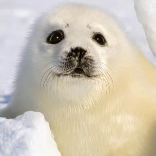 Baby Seal - Obrázkek zdarma pro 2048x2048