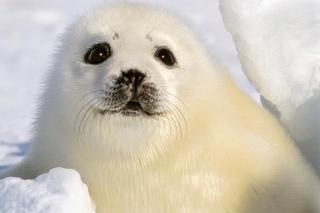 Baby Seal - Obrázkek zdarma pro Sony Xperia Z3 Compact