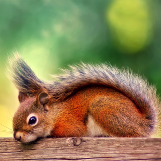 American red squirrel - Obrázkek zdarma pro 128x128