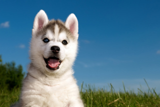 Husky Puppy Background for Android, iPhone and iPad