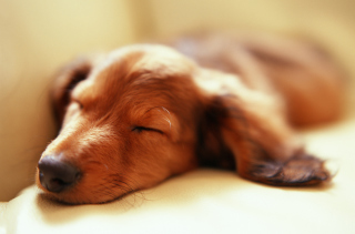 Free Sleeping Dog Picture for Android, iPhone and iPad