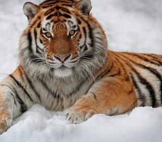 Siberian Tiger - Obrázkek zdarma pro 208x208