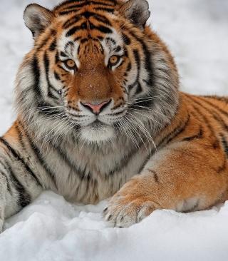 Siberian Tiger - Obrázkek zdarma pro Nokia Asha 309