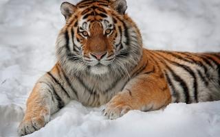 Siberian Tiger - Obrázkek zdarma pro Nokia Asha 205