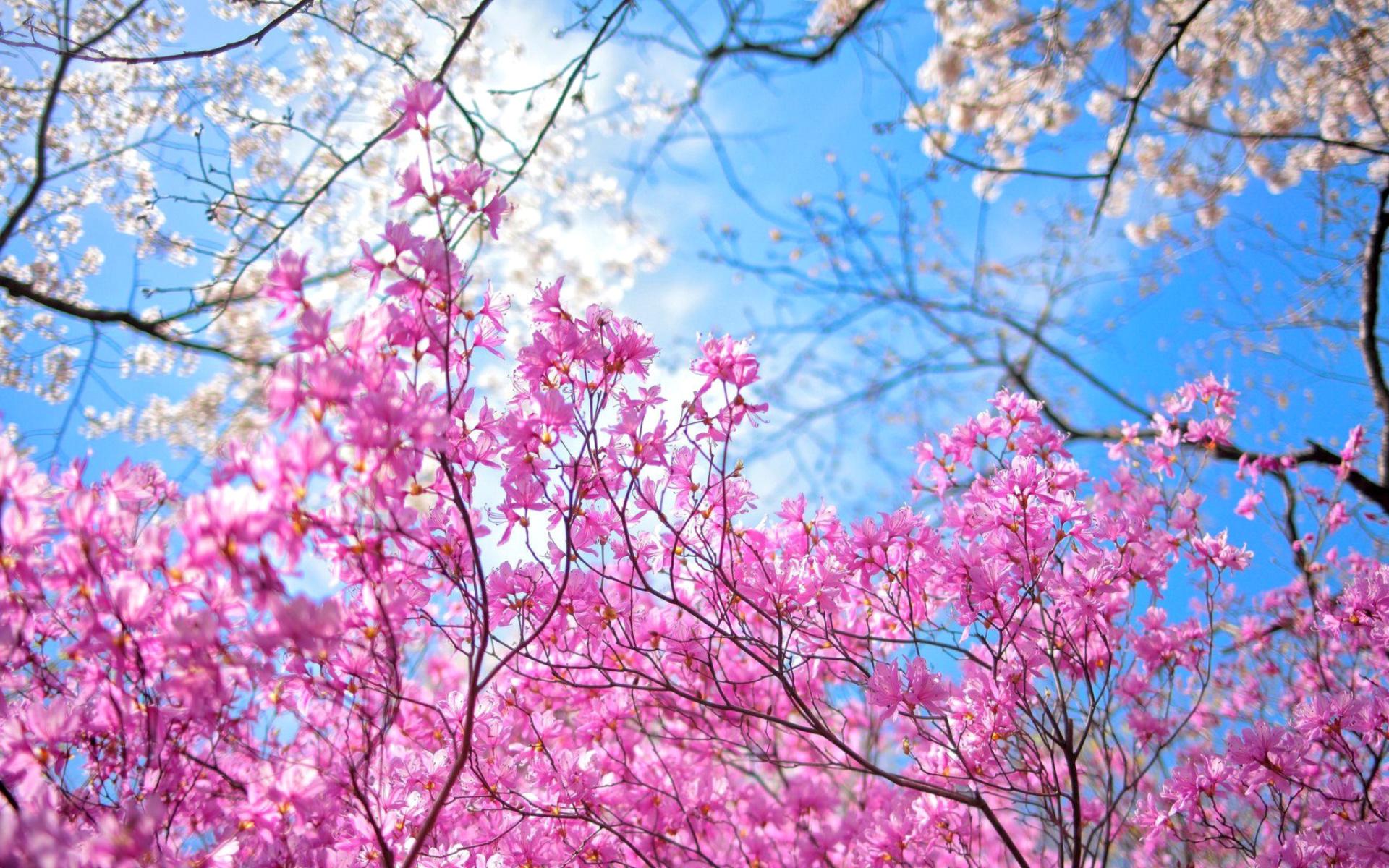 обои цветущие деревья для рабочего стола № 431698 загрузить