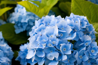 Free Hydrangea Macro Picture for Android, iPhone and iPad