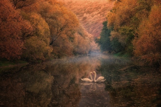 Swans on Autumn Lake Background for Android, iPhone and iPad