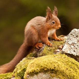 Eurasian red squirrel - Obrázkek zdarma pro 128x128