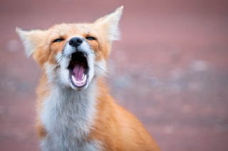 Free Yawning Fox Picture for Android, iPhone and iPad