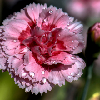Carnation Flowers - Obrázkek zdarma pro 128x128