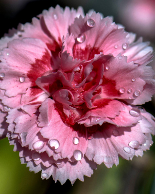 Carnation Flowers - Obrázkek zdarma pro Nokia X3