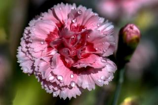 Carnation Flowers - Obrázkek zdarma pro Sony Xperia M