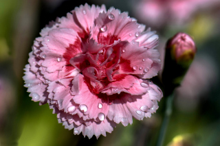 Carnation Flowers - Obrázkek zdarma pro Samsung Galaxy S4