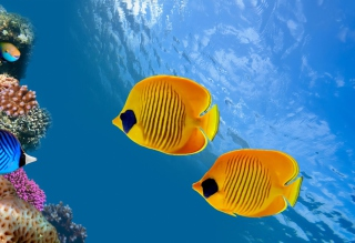 Tropical Golden Fish - Obrázkek zdarma pro 720x320