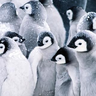 Frozen Penguins - Obrázkek zdarma pro 320x320