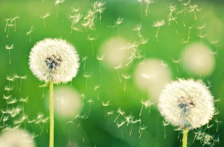 Dandelion Time Picture for Android, iPhone and iPad