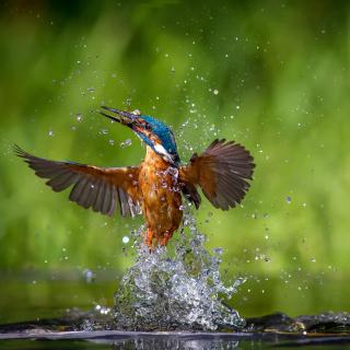 Common Kingfisher - Obrázkek zdarma pro iPad 2