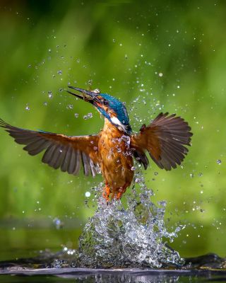 Common Kingfisher - Obrázkek zdarma pro Nokia X2