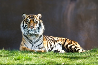 Tiger Staring Picture for Android, iPhone and iPad