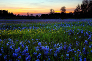 Free Blue Flower Field Picture for Android, iPhone and iPad