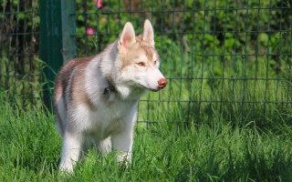 Free Brown Husky Picture for Android, iPhone and iPad