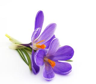 Spring Blooming Crocus - Obrázkek zdarma pro 208x208