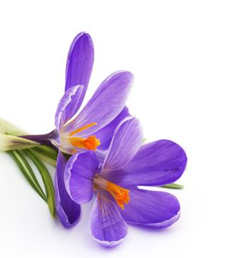 Spring Blooming Crocus - Obrázkek zdarma pro Nokia Asha 311