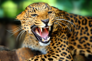 Free Hungry Leopard Picture for Android, iPhone and iPad