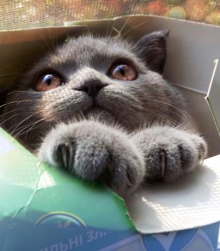 Grey Baby Cat In Box - Obrázkek zdarma pro 352x416