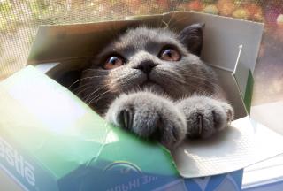 Grey Baby Cat In Box - Obrázkek zdarma pro 480x360