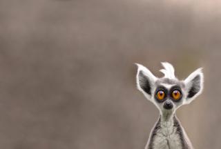 Cute Lemur - Obrázkek zdarma pro Android 1280x960