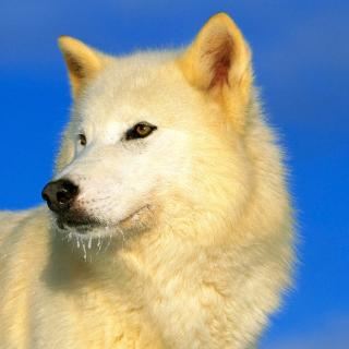 White Wolf - Obrázkek zdarma pro 208x208