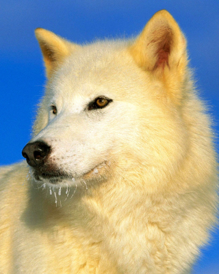 White Wolf - Obrázkek zdarma pro 480x854
